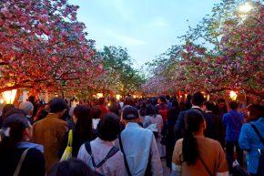 cherry-blossoms-osaka-mint